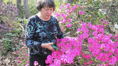 Angela Bowersox, a member of the Mason-Dixon Chapter, American Rhododendron Society, selects an entry from one of her azalea plants to enter in the group's annual show.