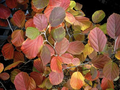 Fothergilla has virtually no diseases or pests, and fall foliage comes in a dazzling palette of red, orange and yellow shades.