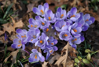 Crocuses in bloom on Somerset Road in Roland Park.