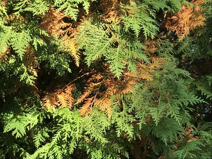 Evergreens shed their leaves or needles every two to three years.