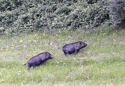 A pair of Vietnameses pot-bellied pigs head toward the woods where they have taken up residence near an office park on Hammonds Ferry Road.