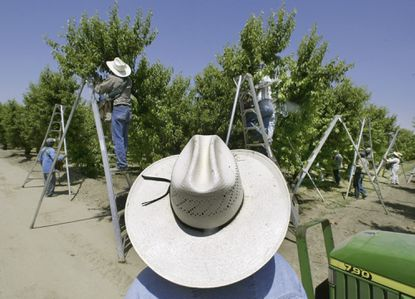 Workers pick fruit in an orchard in Arvin, Calif. where state regulators have already tightened rules on the pesticide chlorpyrifos over health concerns. In Maryland, lawmakers have an opportunity to ban it beginning in 2020. File.