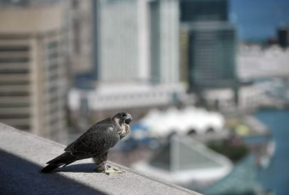 Peregrine falcons have been nesting high on a Baltimore skyscraper for three decades now.