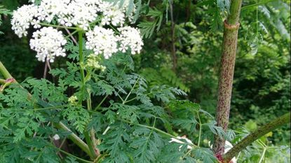 Poison hemlock has been very noticeable this year in ditches and roadsides.