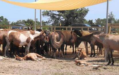 Ponies rest under a shade tent in the pens at the 2016 Pony Penning on Chincoteague Island in Virginia.