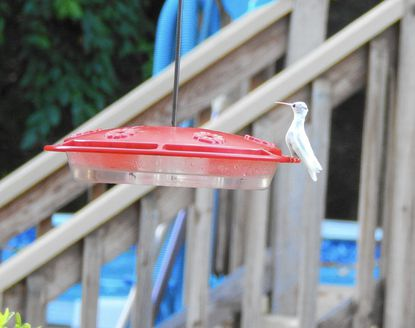 Janice Easter and her husband, David, attracted what they believe was an albino hummingbird to their Fallston yard late in the summer. Officials from the Maryland Wildlife and Heritage Service concur.