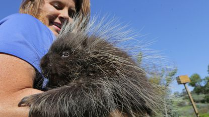 Penelopea, a female porcupine, is held by Kimberly Wright, co-director of Wild Wonders in Bonsall, in this 2017 photo.