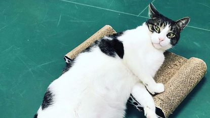 Cats like Mark, from Passport Animal Rescue, will be available to adopt at Neko No Kafe, a new cat cafe coming to Hampden.