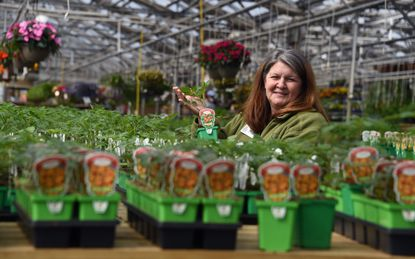 """Heather Wheatley, a horticulturist and the education coordinator for Homestead Gardens, holds a tomato plant as she sits among bedding vegetables in one of the company's greenhouses. Wheatley has seen an increase in vegetable gardening since it is growing season and """"there's a lot off time on our hands."""""""