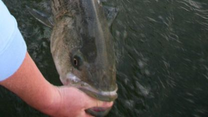 The Maryland trophy striped bass season opens April 20.