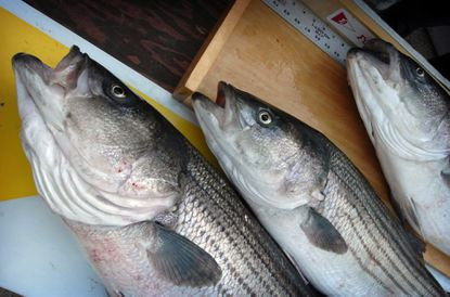 """But maybe throw the rockfish back in. In 1965 it was made the official state fish. The General Assembly called it """"this fine old Maryland fish."""" We now seem to celebrate rockfish by eating it at $30 a plate in nice restaurants. Sorry, rockfish! You're still fine."""