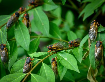 Lots of upsides to cicadas. For one, they aerate your soil for free. Our soils need aerating because as we trample or mow (on wet soil is especially bad!), we compact the soil particles tighter and tighter until soil becomes impenetrable to the rain and oxygen that roots need. So, cicada emergence tunnels act like a plug aeration of your landscape at no expense. Also, they die in vast numbers and their rotting bodies fertilize your plants. <br> Research shows that after a cicada visit, mature trees actually grow better! And, of course, cicadas are a boon to our wildlife, which gorge themselves on their nutritious snack-size bodies. Since cicadas don't bite, sting, eat plants, carry disease, or try to move into our homes, let their brief appearance provide a distracting marvel. Go to cicadasafari.org for kid activities and fun facts for all ages.