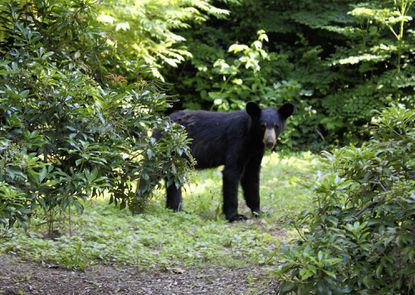 A young Black Bear was spotted in a back yard Saturday on tower Road near Aberdeen around 5:30 p.m.