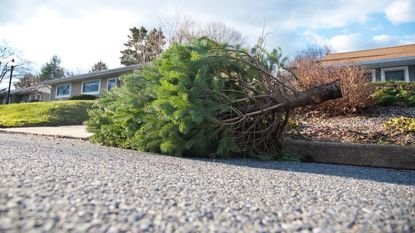 A Christmas tree sits on a curb waiting to be picked up in Annapolis in a 2016 file photo.