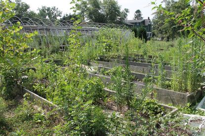 Weeds have overtaken a former greenhouse on a parcel of land in Towson on which county officials plan to build a park.