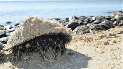 A horseshoe crab with sand is pictured on its shell during spawning season June 11 at Pickering Beach near Dover, Del. More horseshoe crabs will mean more people are needed to flip over the animals that get stuck on the sand during the annual frenzy to spawn.