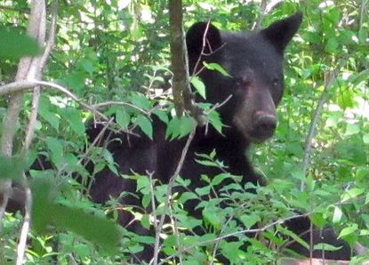 A black bear was seen at about 2 p.m. Friday at Piney Ridge Parkway and Sassafras circle in Eldersburg. Locals spotted the bear near the Eldersburg Dunkin' earlier Friday. Spokesperson Tim Brown said the Carroll County Sheriff's Office received about six calls from concerned residents who saw a bear at about 9:30 a.m.