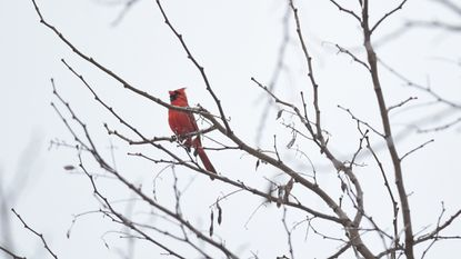 A cardinal sings a song from an icy tree branch in Aberdeen during a snowstorm on the first day of spring March 21.
