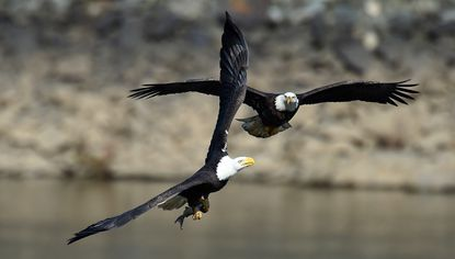 A pair of bald eagles vie for a fish at the Conowingo Dam in this file photo.