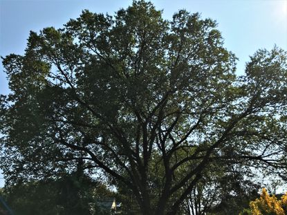 American elm trees, like this one in Baltimore, were once common in cities and towns, but millions of them were ravaged by disease. They are now rare.
