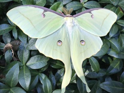 Luna moths are gentle giants focused solely on reproducing. Its distinct markings are believed to confuse predators. - Original Credit: For The Baltimore Sun