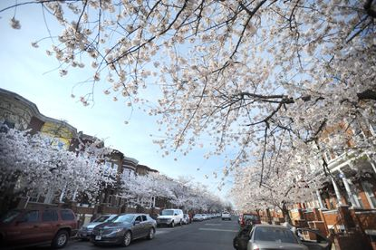 (File Photo) Cherry blossoms bloom on the 1600 block of Appleton Street in West Baltimore.