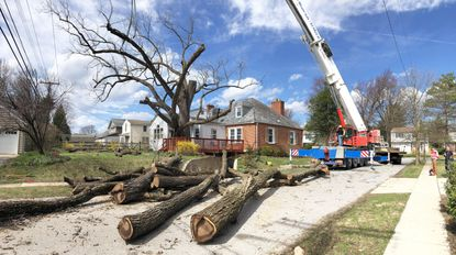 A black walnut tree believed to be 230 years old that stood at the home of George and Helen Kennedy had to come down.
