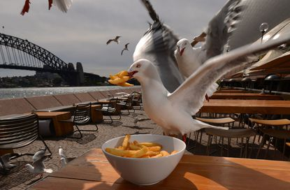 A seagull steals chips from a restaurant table in Sydney, Australia. The gulls have become aggressive toward diners at harbourside restaurants and beaches, with diners complaining that the birds snatch food off of their plates while they are eating.