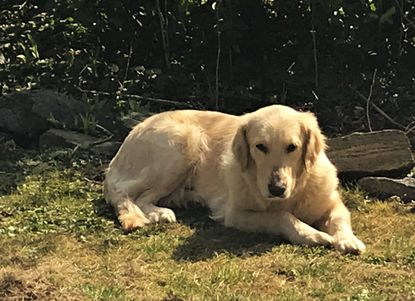 Annie, a golden retriever, is one of many dogs from Kuwait placed in Baltimore-area homes by the Wings of Love Kuwait rescue group.