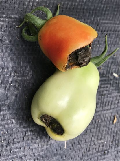 Tomatoes can develop blossom end rot like this for a variety of reasons including soil issues, inconsistent watering, too much fertilization and intense light.