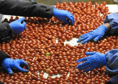 Workers sort cherry tomatoes in the repack room of Pete Pappas and Sons, produce distribution company.