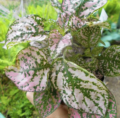 With its colorful leaves, the polka-dot plant is a good substitute for impatiens.