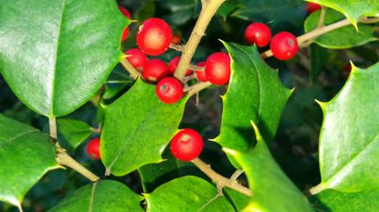 Garden Q&A: History of Maryland holly