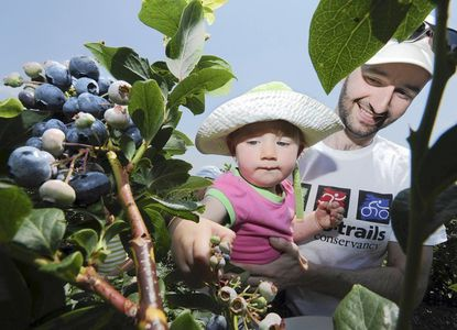 Chris Garosi, 35, and his daughter, Natalia, 14 months old, from Germantown, pick berries at Butler's Orchard. Garosi used Facebook to find out about the blueberry picking. Some local pick-your-own farms have started moving into the world of social media.