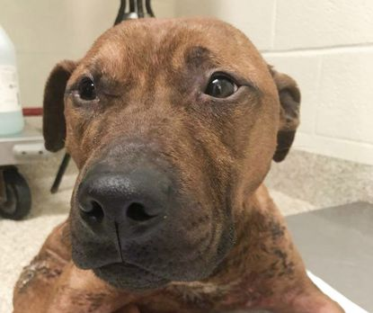 BARCS took in this injured dog -- and named him Donut -- after he was discovered on the sorting floor at Wheelabrator, Baltimore's waste-to-energy facility.