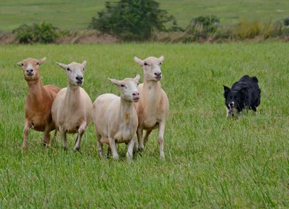 Rye, a border collie, herds Katahdin sheep. Rye and her owner, Nancy Starkey, will host the sheep dog demonstration at the 72nd annual Howard County Fair on Saturday, Aug. 12.
