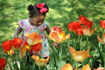 Ava Douglass, 15 months old, from Nottingham, looks at the tulips in bloom at Sherwood Gardens.