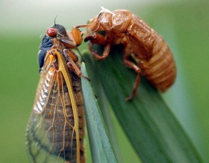 The Brood X or Brood Ten cicadas, after 17 years underground, are expected to emerge en masse in Maryland in mid- to late May. (Jerry Jackson/Baltimore Sun).