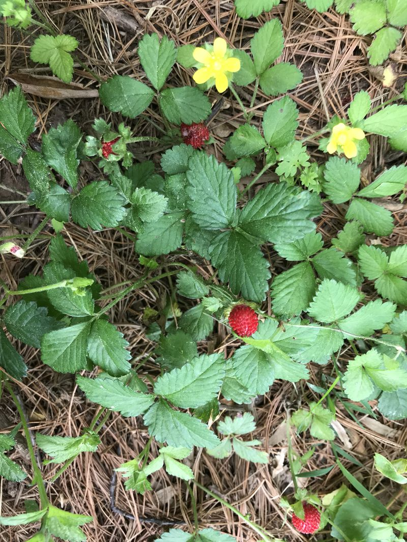 Garden Q&A: Those aren't wild strawberries and those are rose slugs eating  your roses - Baltimore Sun