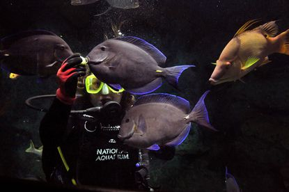 Rachel Patella feeds the fish while she swims in the in the Atlantic Coral Reef exhibit at the National Aquarium in Baltimore. The aquarium offers a $195 experience that allows you to scuba dive in the tank with more than 80 species of fish.