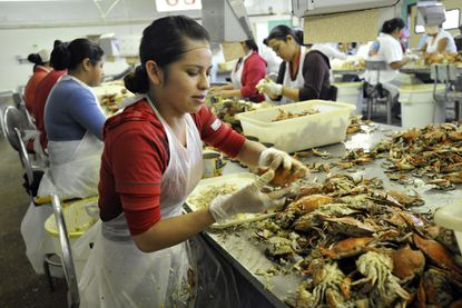 Cambridge, MD -- Celia Serna was one of the guest workers picking crabs at the J.M. Clayton processing plant in 2011. J.M. Clayton Company which specializes in crabmeat processing located in Cambridge, Maryland.